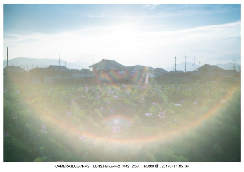 絶景・奈良の藤原宮跡の蓮ハス見ごろ見頃7.jpg