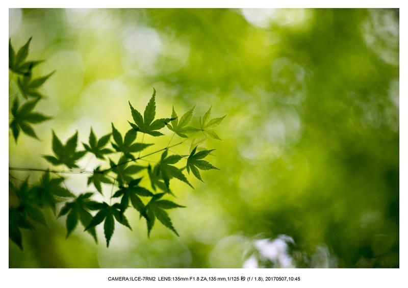 絶景京都・旅行記画像・春の新緑青もみじの圓光寺5月17.jpg