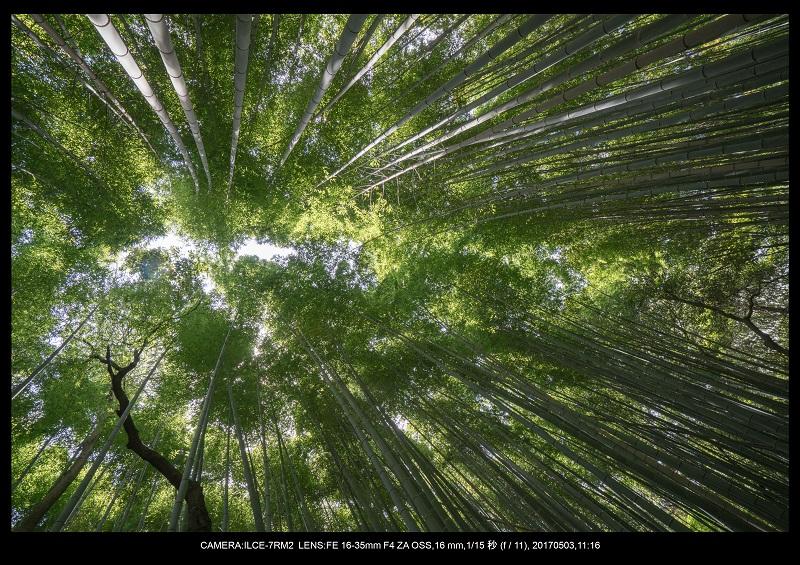 絶景京都・春の新緑青もみじの嵐山5月4.jpg