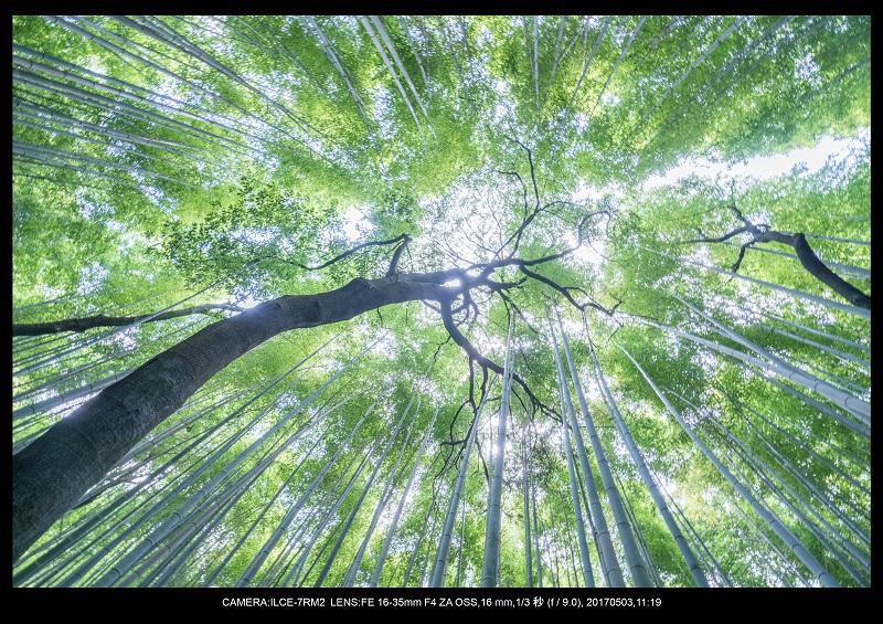 絶景京都・春の新緑青もみじの嵐山5月5.jpg