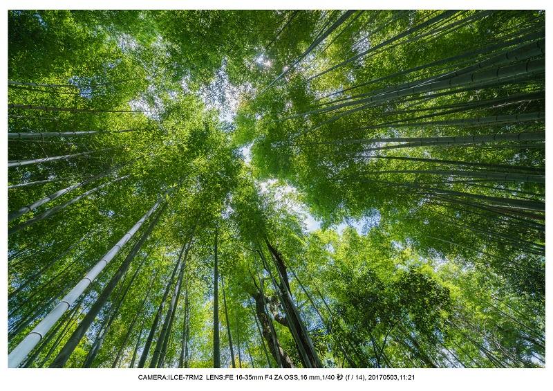 絶景京都・春の新緑青もみじの嵐山5月6.jpg
