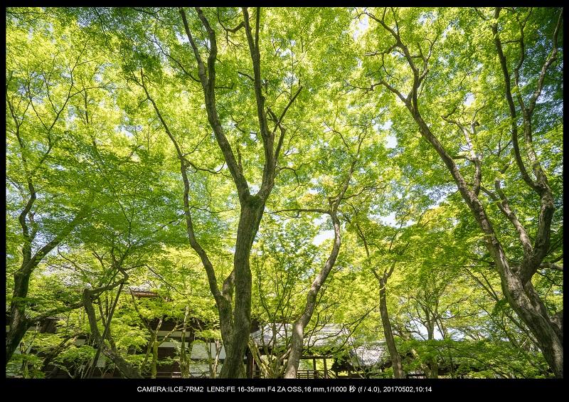 絶景京都・春の新緑青もみじの真如堂5月1.jpg