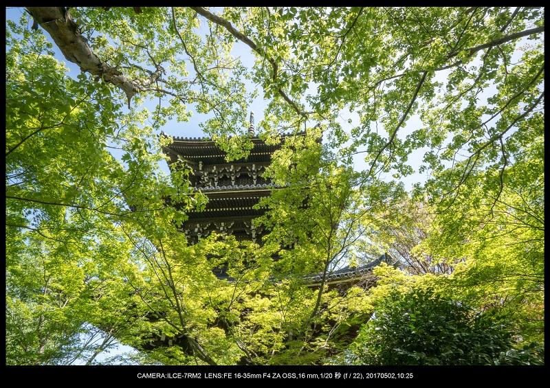 絶景京都・春の新緑青もみじの真如堂5月4.jpg