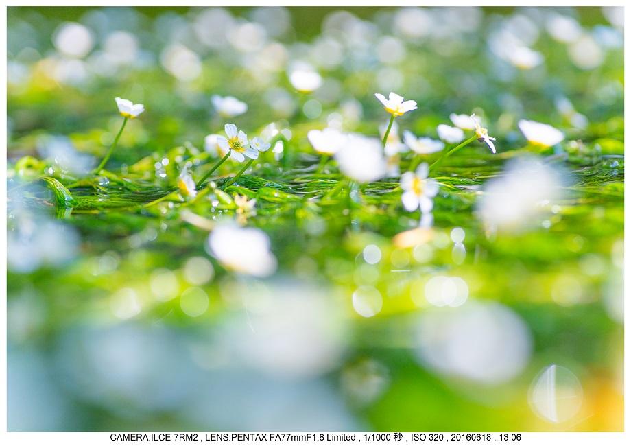 醒ヶ井(さめがい)の梅花藻(ばいかも)_0.jpg