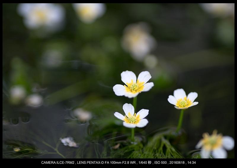 醒ヶ井(さめがい)の梅花藻(ばいかも)_26.jpg