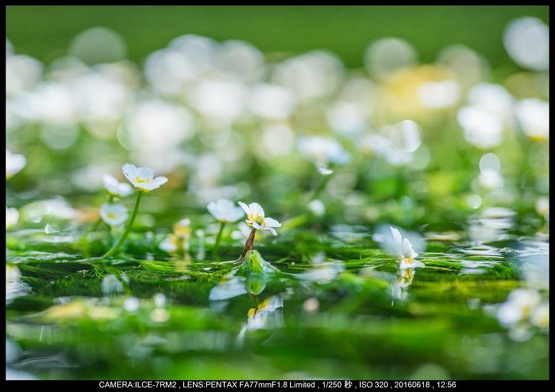 醒ヶ井(さめがい)の梅花藻(ばいかも)_3.jpg