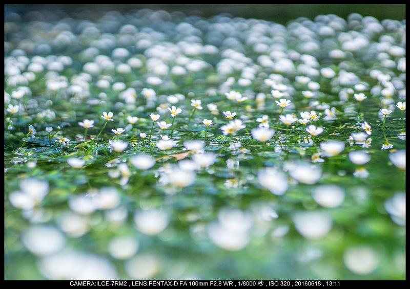 醒ヶ井(さめがい)の梅花藻(ばいかも)_9.jpg