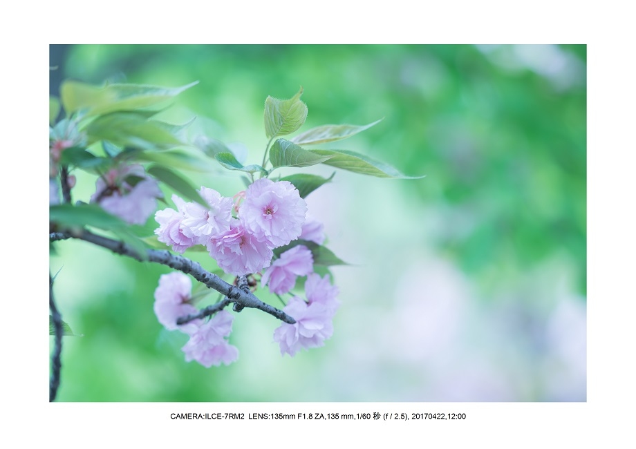 長居植物園0422カンザクラ八重桜0.jpg