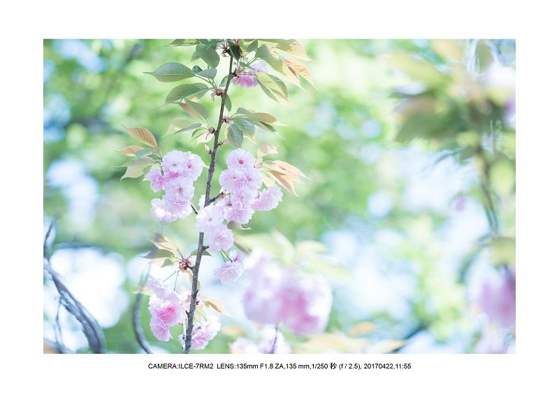 長居植物園0422カンザクラ八重桜2.jpg