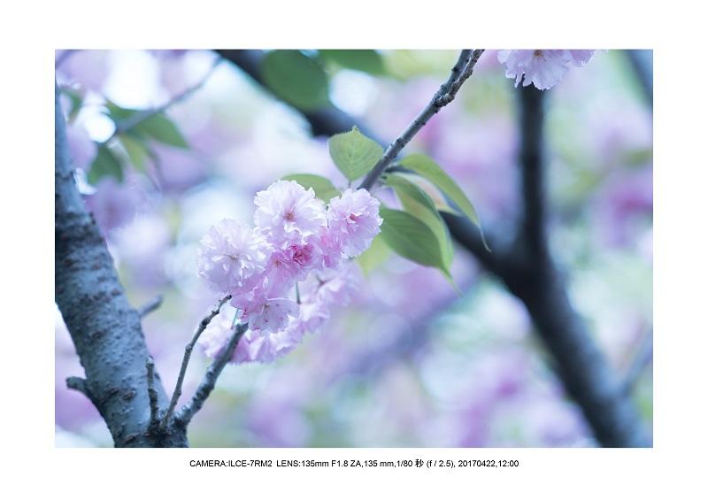 長居植物園0422カンザクラ八重桜3.jpg