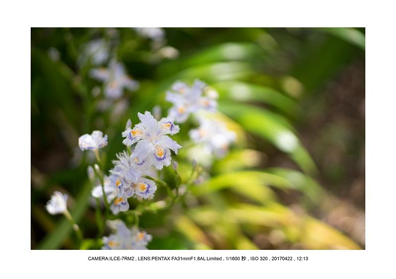 長居植物園0422カンザクラ八重桜シャガ.jpg