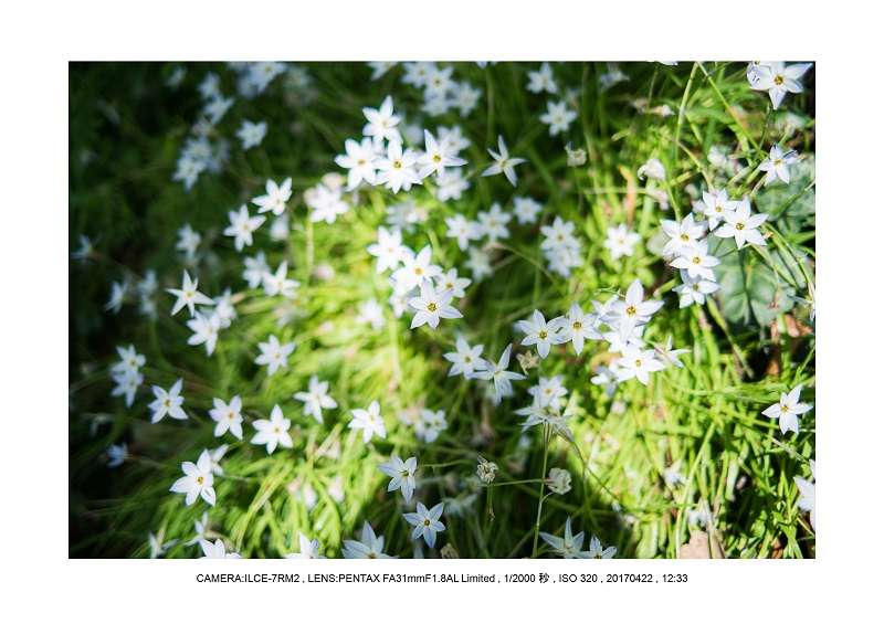 長居植物園0422カンザクラ八重桜ニラ2.jpg