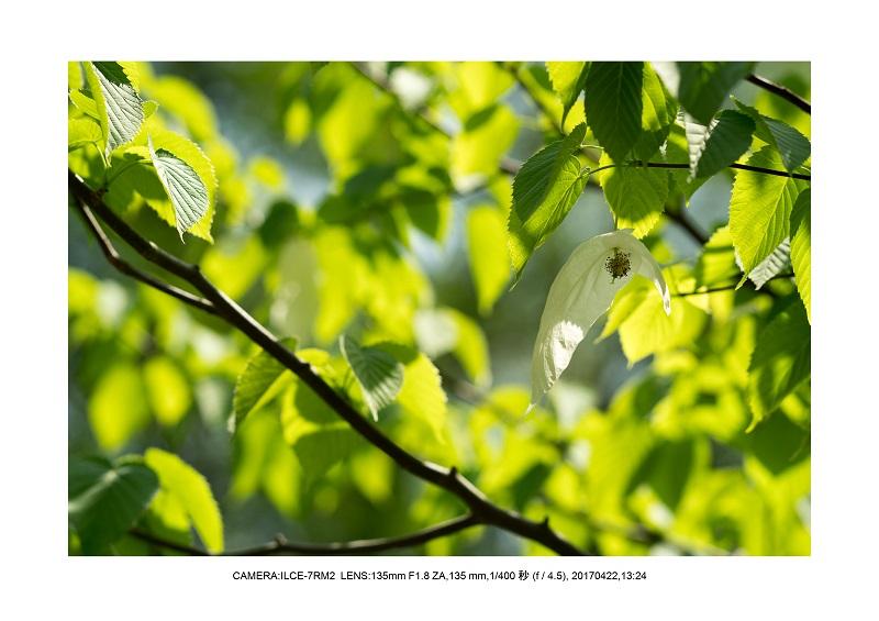 長居植物園0422カンザクラ八重桜ハンカチの木.jpg