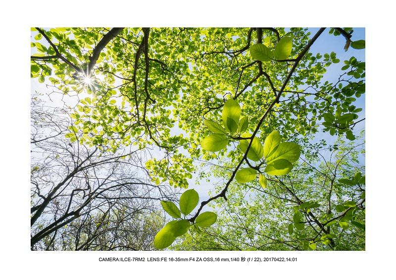 長居植物園0422カンザクラ八重桜ミドリ.jpg