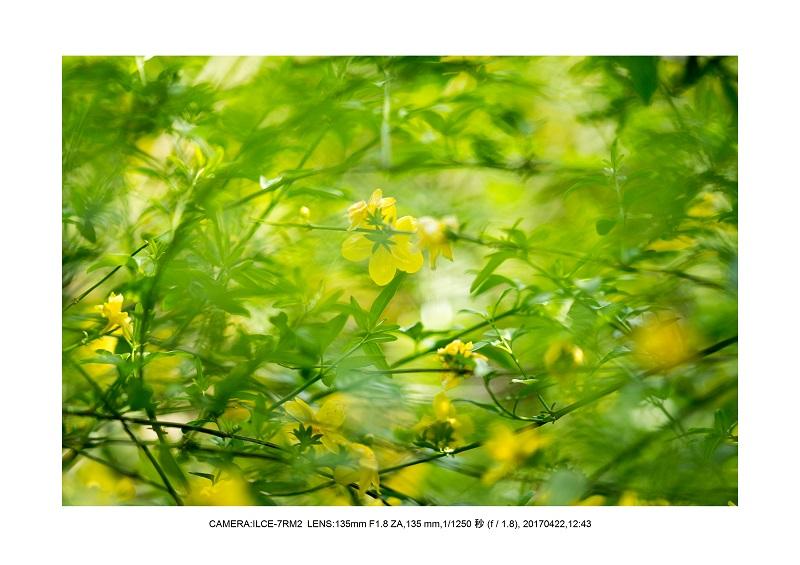 長居植物園0422カンザクラ八重桜南黄梅.jpg