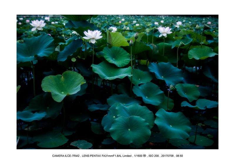 長居植物園のハス蓮満開11.jpg