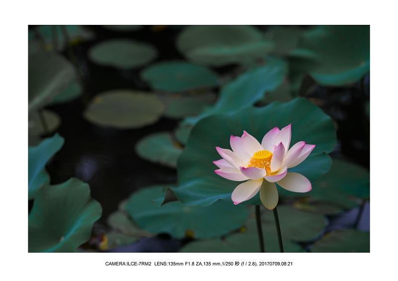 長居植物園のハス蓮満開7.jpg