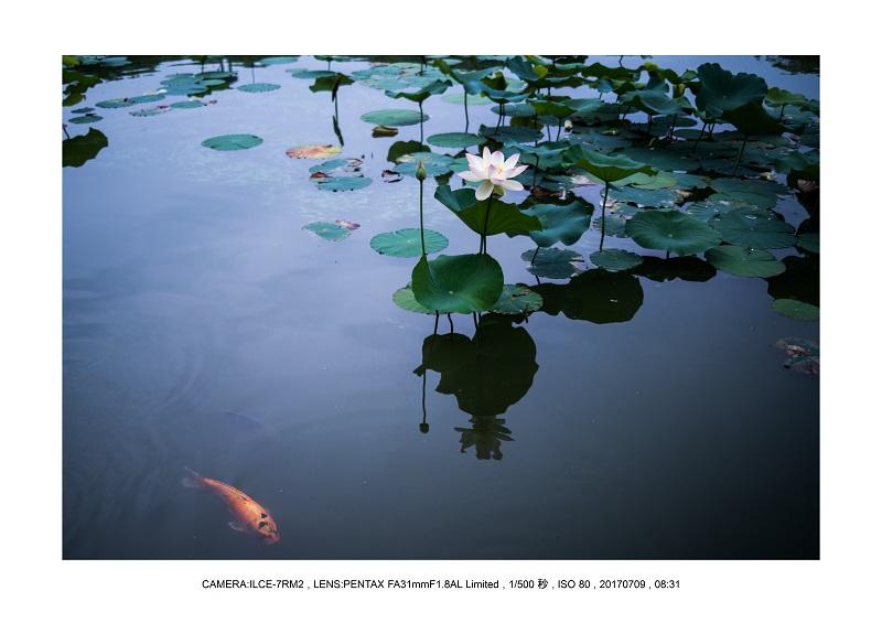 長居植物園のハス蓮満開8.jpg