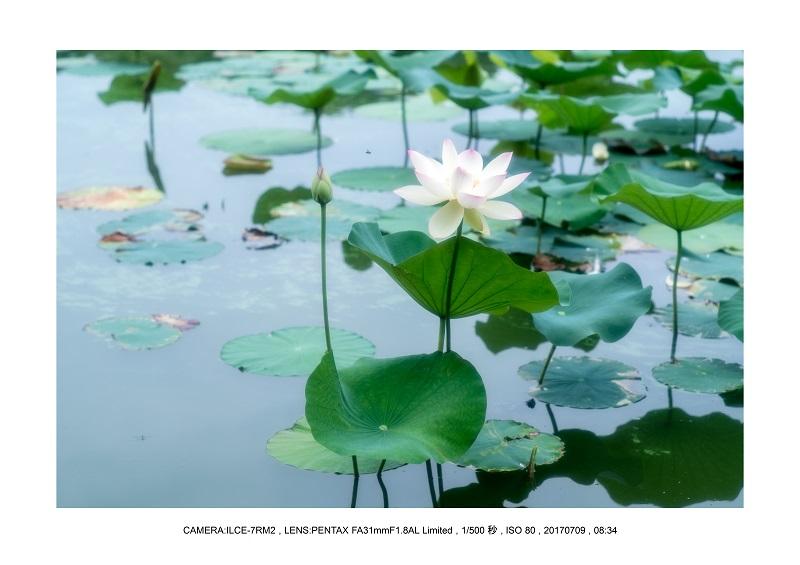 長居植物園のハス蓮満開9.jpg