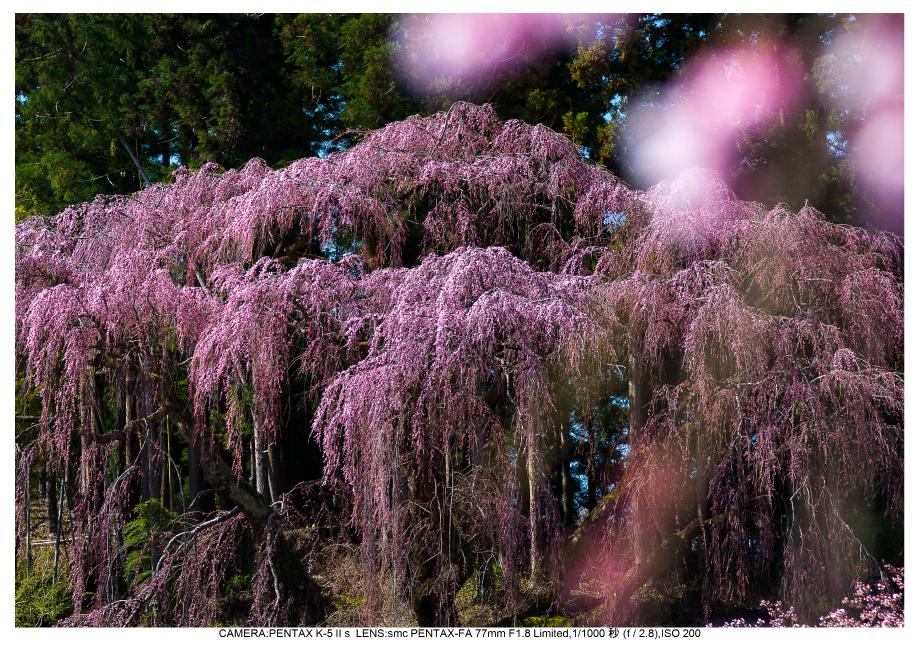 s福島桜14福聚寺の桜.jpg