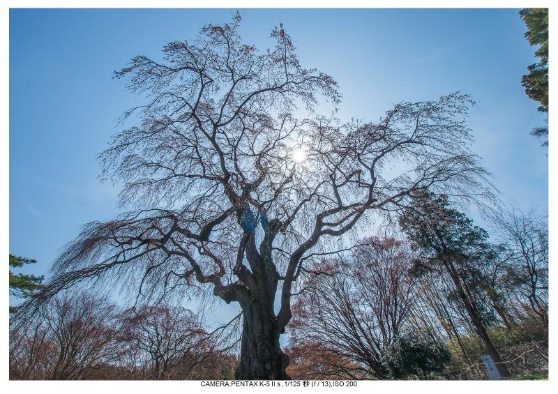 s福島桜22八十内かもんの桜.jpg