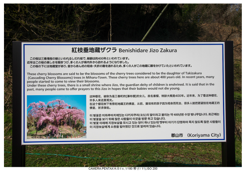 s福島桜4紅枝垂れ地蔵桜.jpg