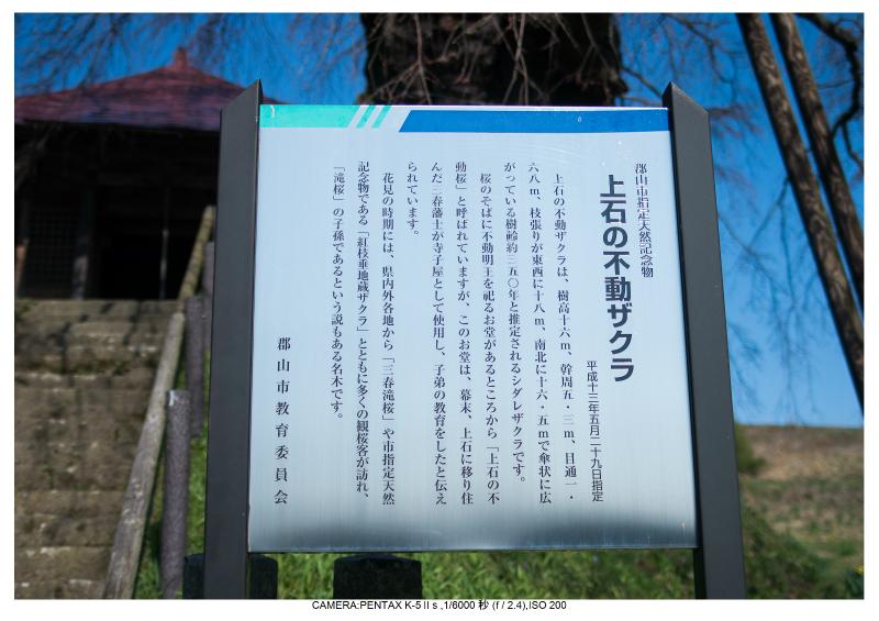 s福島桜5上石の不動桜.jpg