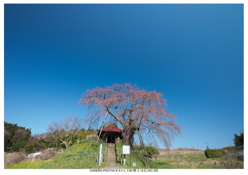 s福島桜6上石の不動桜.jpg